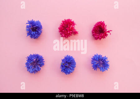 Two rows of pink and blue corfnflowers or bachelor buttons on pastel pink background. - Stock Photo