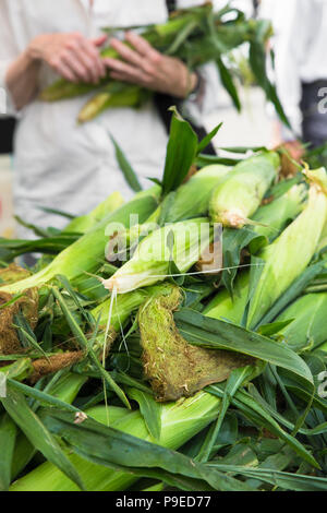 Fresh corn in husks with person holding several cobs - Stock Photo