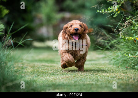 A young red Cockapoo puppy being playful in its owners garden in its owners garden - Stock Photo