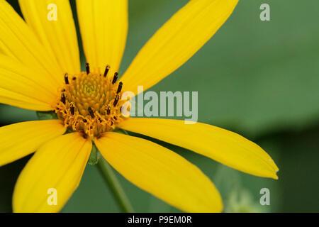 Oxeye in native garden - Stock Photo