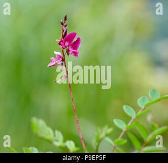 Indigofera heterantha is a medium-sized deciduous shrub, herbaceous in colder areas and then making up to 1.2m annual growth. Leaves pinnate with 13-2 - Stock Photo