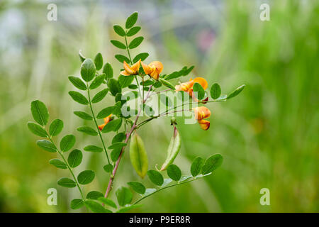 Colutea arborescens is a species of leguminous shrub known by the common name bladder-senna. It is native to Europe and North Africa, but it is known  - Stock Photo