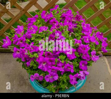 A garden planter full of petunia flowers. - Stock Photo