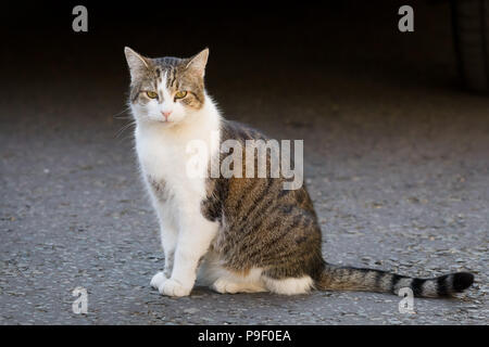 London, UK. 17th July 2018. Larry the cat in Downing Street during a cabinet meeting. Credit: Vickie Flores/Alamy Live News - Stock Photo
