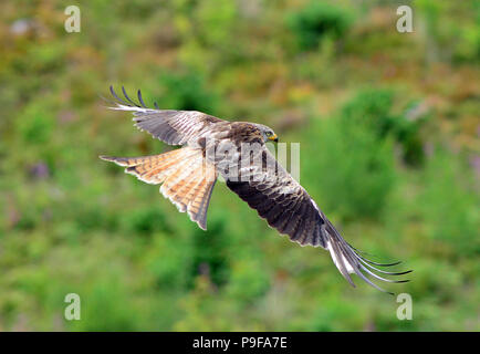 Aberystwyth, Wales, UK - 18-July-2018 - A red kite rises from food bait at Nant yr Arian near Aberystwyth and is seen against a moorland hillside - John Gilbey/Alamy Live News - Stock Photo
