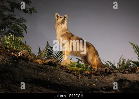 Wild wolf taxidermy at the Children's Museum in Indianapolis, Indiana. - Stock Photo