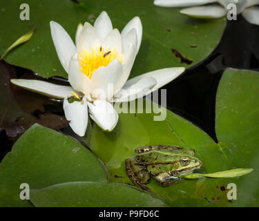 Closeup of a green pool frog sitting on a leaf of a water lily - Stock Photo