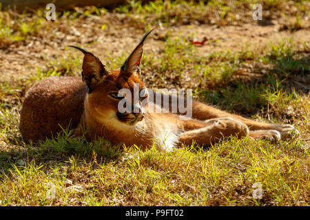Rooikat lying and baking in the sun in the park - Stock Photo