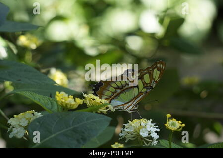 Green longwing Butterfly at the Enmax Conservatory, Calgary Zoo, Calgary, Alberta, Canada - Stock Photo