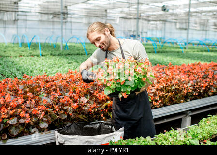 Man cutting flowers in the greenhouse - Stock Photo
