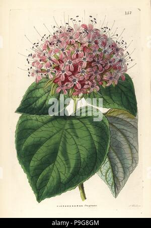Chinese glory bower, Clerodendrum chinense (Fragrant clerodendron, Clerodendron fragrans). Handcoloured copperplate engraving by G. Barclay after Miss Sarah Drake from John Lindley and Robert Sweet's Ornamental Flower Garden and Shrubbery, G. Willis, London, 1854. - Stock Photo