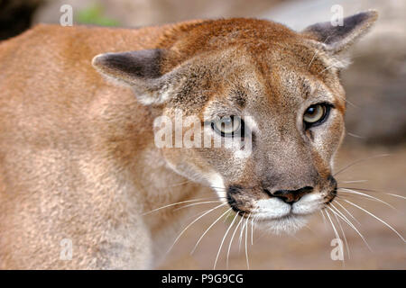 Beautiful Mountain Lion or Cougar male, portrait close up - Stock Photo
