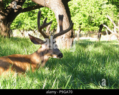 Mule Deer Buck Resting in the Shade of an Apricot Tree - Stock Photo