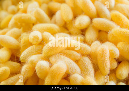 Yellow silkworm cocoon shell through the Silk Route - Stock Photo