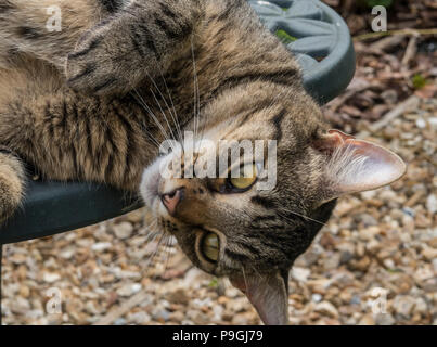 Tabby cat (Bengal cat) lying with head hanging off a green metal garden table - Stock Photo