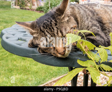 Tabby cat (Bengal cat) lying on a green metal garden table beside raspberry canes. - Stock Photo
