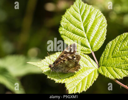 Speckled Wood butterfly on bramble leaves, Shropshire-Wales Border near Knighton - Stock Photo