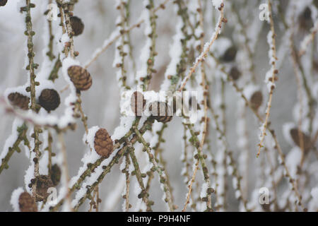 Covered in snow bare branches of European Larch (Larix decidua) with pine cones. Winter Scenery. The larch is the only deciduous European conifer. - Stock Photo