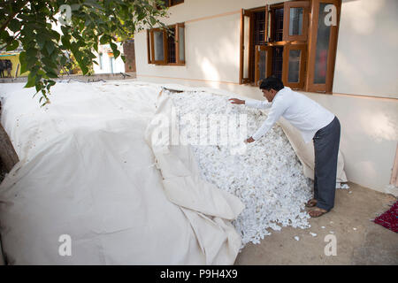 A cotton farmer covers hup his cotton harvest witha sheet outside his home in Madhya Pradesh, India - Stock Photo