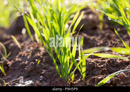 green clean and fresh wheat germs lit by the sun, photo close-up of a meadow. dew drops on stems - Stock Photo