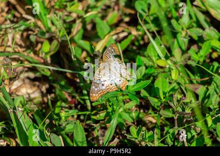 White peacock butterfly (Anartia jatrophae) with wing damage - Vista View Park, Davie, Florida, USA - Stock Photo