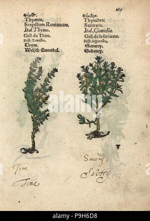 Common thyme, Thymus vulgaris, and summer savory, Satureja hortensis. Handcoloured woodblock engraving of a botanical illustration from Adam Lonicer's Krauterbuch, or Herbal, Frankfurt, 1557. This from a 17th century pirate edition or atlas of illustrations only, with captions in Latin, Greek, French, Italian, German, and in English manuscript. - Stock Photo