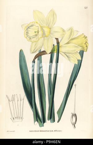 Wild daffodil, Narcissus pseudonarcissus subsp. moschatus (Greatest Spanish white narcissus, Narcissus moschatus var. albicans). Handcoloured copperplate engraving by Weddell after Edwin Dalton Smith from John Lindley and Robert Sweet's Ornamental Flower Garden and Shrubbery, G. Willis, London, 1854. - Stock Photo