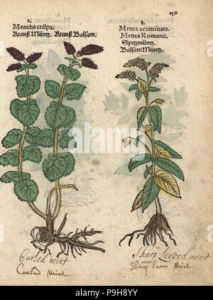 Curled mint, Mentha spicata, and horse mint, Mentha longifolia. Handcoloured woodblock engraving of a botanical illustration from Adam Lonicer's Krauterbuch, or Herbal, Frankfurt, 1557. This from a 17th century pirate edition or atlas of illustrations only, with captions in Latin, Greek, French, Italian, German, and in English manuscript. - Stock Photo