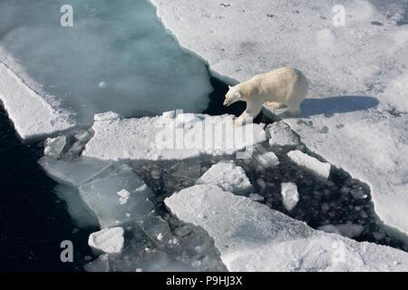 Polar Bear walking on sea ice - Stock Photo