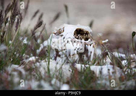 Polar Bear skull and bones in the tundra - Stock Photo
