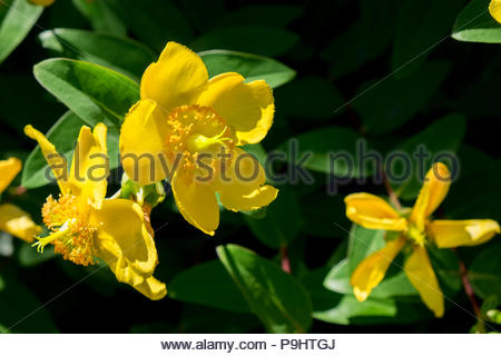 Johanniskraut, or St. John's Wort, an herbal alternative anti-depressant. - Stock Photo