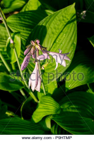 Water droplets on flowers of Hosta — AKA plantain lily, giboshi or Funkien - Stock Photo