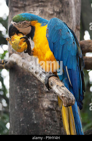 The blue-and-yellow macaw (Ara ararauna), also known as the blue-and-gold macaw, is a large South American parrot with blue top parts and yellow under parts. It is a member of the large group of neotropical parrots known as macaws. Venezuela - Stock Photo