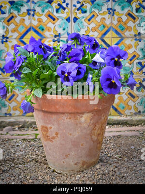 Violet blue pansy flowers in a terracotta flowerpot against colourful  Andalusian tiles in Spain - Stock Photo