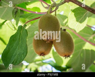 Kiwifruit or Kiwi (Actinidia deliciosa). Chinese gooseberry. Leaf canopy protecting the kiwi vines, Kiwi fruits - Stock Photo