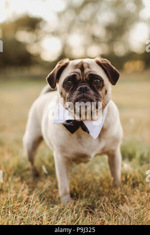 Male pug wearing a bow tie for wedding - Stock Photo