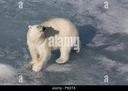 Large Polar Bear on sea ice near Svalbard - Stock Photo