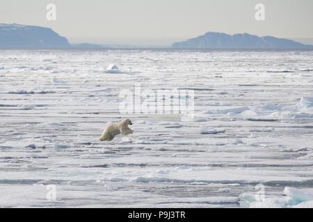 Large Polar Bear jumping across sea ice near Svalbard - Stock Photo