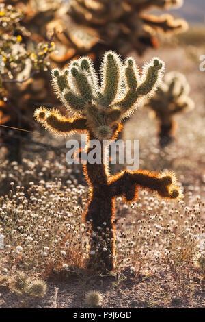 Sunset at Cholla Cactus Garden, Joshua Tree National Park