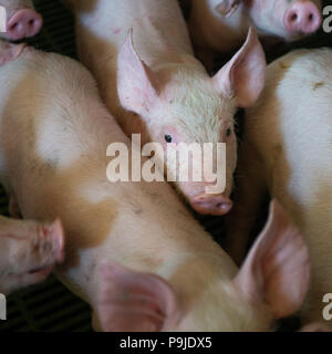 Domestic pigs. Pigs on a farm in the village - Stock Photo