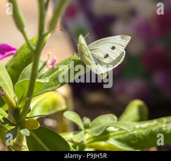 Small white (cabbage white) butterfly on stocks (Matthiola incana) in a garden. - Stock Photo