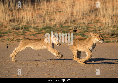 Lion cubs (Panthera leo) playing, Kgalagadi Transfrontier Park, South Africa - Stock Photo
