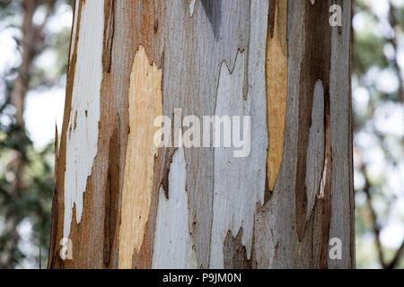 Detail, bark of eucalyptus tree (Eucalyptus), Australia - Stock Photo