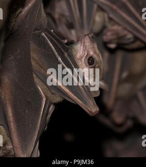 Portrait Of Egyptian Fruit Bat (Rousettus aegypticus) - Stock Photo