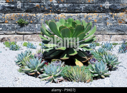 Succulents and cactus on white small stones in wall garden. - Stock Photo
