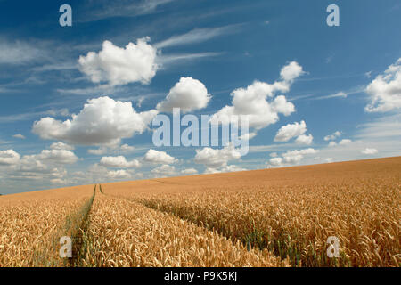 Ripening Wheat crop in fields near Strethall in Cambridgeshire. Blue sky and Cumulus clouds plus tracks from farm vehicles - Stock Photo