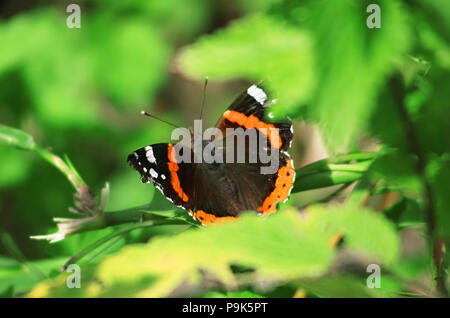 Vanessa atalanta, the red admiral or previously, the red admirable on the leaf - Stock Photo