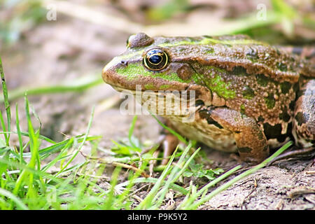 The marsh frog (Pelophylax ridibundus belongs to the family of true frogs) in the mud - Stock Photo