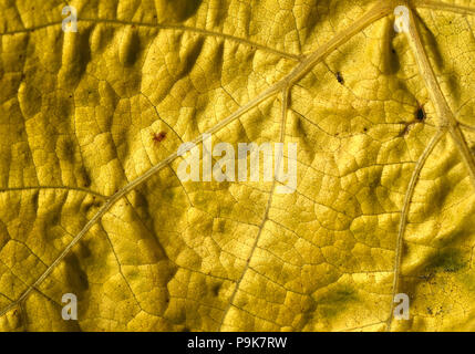 Yellow autumn leaf showing intricate detail - Stock Photo