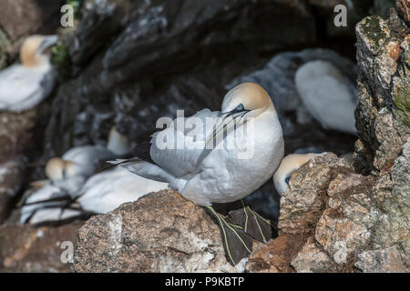 Northern gannets (Morus bassanus) breeding on nests in sea cliff at seabird colony in spring, Hermaness, Unst, Shetland Islands, Scotland, UK - Stock Photo